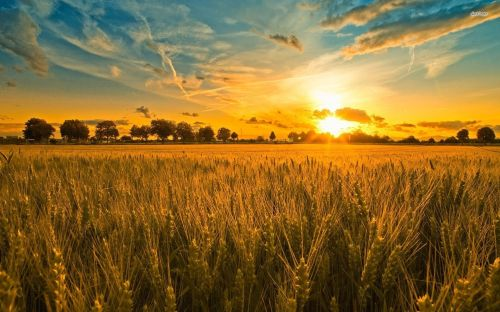 Barley-Sunset